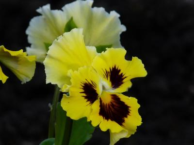 三色堇, 花, 花园, 黄色, 自然, 花园堇, 植物