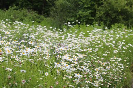 洋甘菊, 字段, 草甸, 自然, 花, 夏季, 绽放