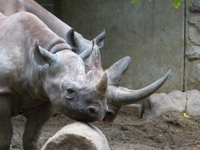 动物园, 动物, 犀牛, 哺乳动物, 非洲, 大游戏, 厚皮类动物