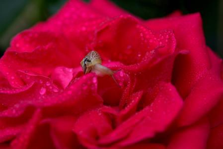 蜗牛, 上升, 红色, 滴眼液, 壳, 露水, 花瓣