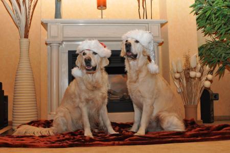 金毛猎犬, 圣诞老人的帽子, 狗, 圣诞贺卡, 圣诞狗, 圣诞主题