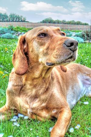 狗, 拉布拉多, hdr, 宠物, 动物, 可爱, 犬