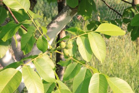 黑色, 东部, 核桃, 叶, 叶子, 核桃, 植物