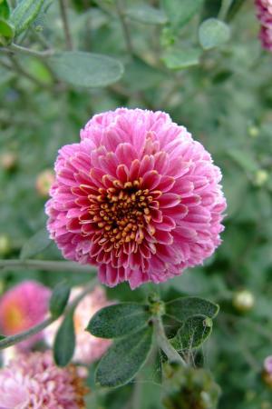 花, 百日草, 雅特, 种植一个花园, 夏季, 玫瑰