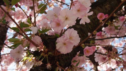 樱花, 粉色, 春天