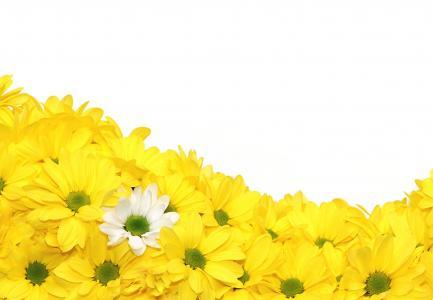 花, 菊花, 黄色, 观赏植物, 绽放, 菊花, grandifloraum