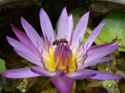waterlilly, 莲花, 泰国, 花, 夏季, 水, 睡莲