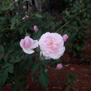 上升, 罗莎, 自然, 粉红色的颜色, 粉红色的花, 花颜色粉红色, 花