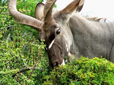 捻角羚, 动物, 羚, 非洲, 吃, 哺乳动物, 自然