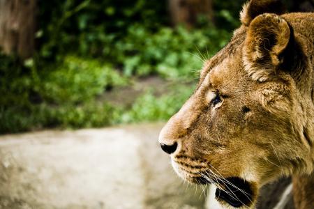 狮子座, 动物园, 自然, 猫科动物, 猫科动物, 头发, 动物世界