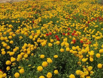 花, 野花, 菊花, 印度, 花香, 植物, 自然