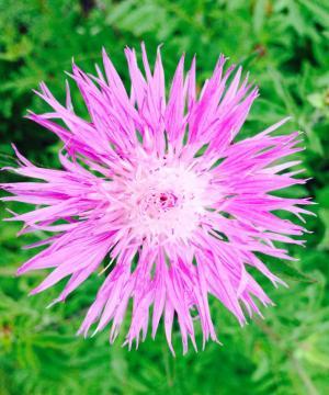 矢车菊, 紫色, 花