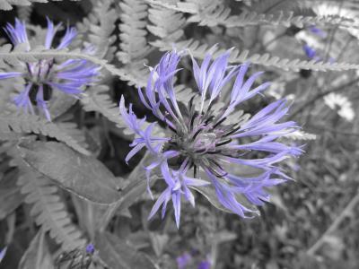 矢车菊, 花, 蓝莓