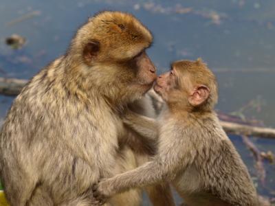 柏柏尔的猴子, 巴巴利猿, 吻, 母亲和儿童, 年轻, 亲情, 爱