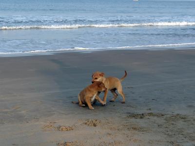 小狗, 海滩, 沙子, 玩, 宠物, 狗, 动物