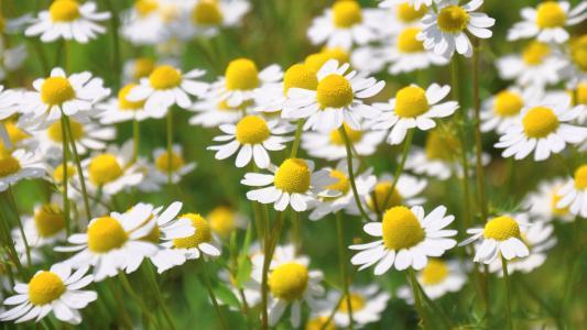洋甘菊, 夏季, 自然, 花, 植物, 黛西, 草甸