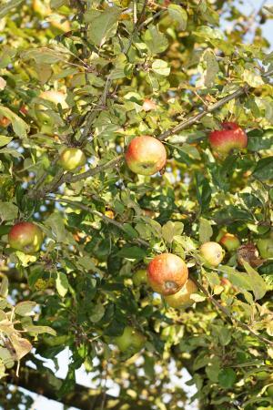 树上苹果, 苹果, 叶子, 水果, 健康, 弗里施, 秋天