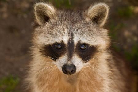 浣熊, 肖像, 野生动物, 小, 可爱, 面具, 毛茸茸