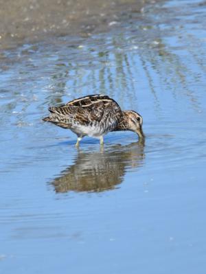鹬, 鸟, 池塘, 搜索食物, 动物群, 自然, 野生动物