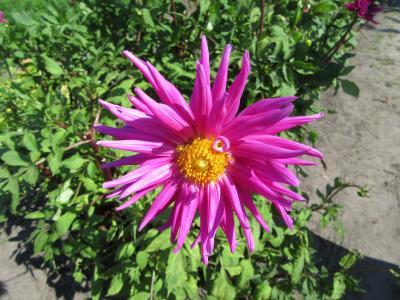 大丽花, 粉红色的花, 花瓣, 粉色, 圣诞快乐, 花, 植物