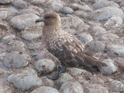 鸥, 南大洋, 南极洲, 鸟, 鸟的猎物, 自然, 动物