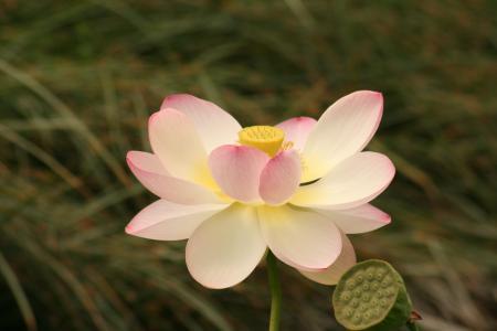 盛开的莲花, 水百合, 花, 水生植物, 自然, 台湾萍蓬草, 开花