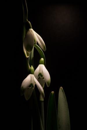 雪莲, 宏观, 白色的花, 春天