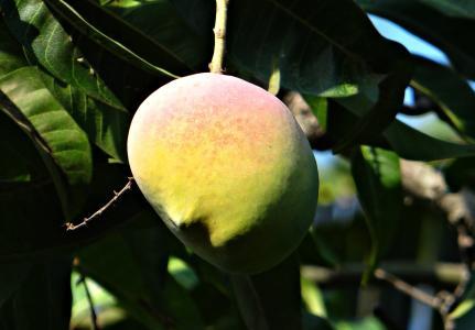芒果, 芒果树, 成熟, 水果, 圣歌, 印度, 食品
