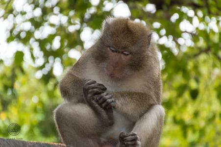 猴子, 动物, 自然, 哺乳动物, 泰国, 持久, 攀登