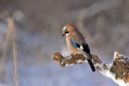 杰伊 ·, 鸟, 库纳尔, 冬天, 自然, 野生动物, 动物
