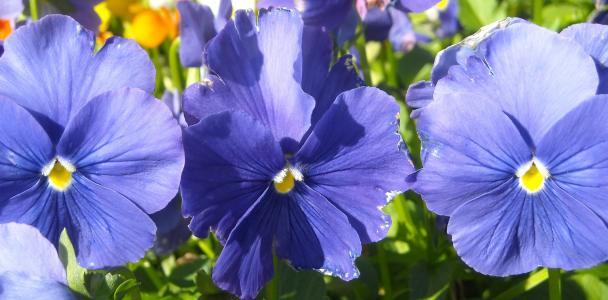 三色堇, 蓝色, 花香, 植物, 绽放, 春天, 花瓣