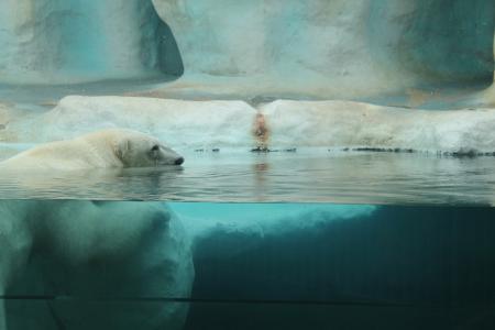 熊, 北极, 动物园, 北极熊, 动物, 哺乳动物, 自然