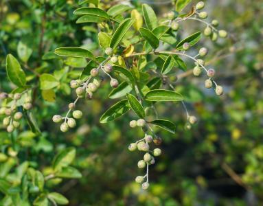 chokeberry, 灌木, 浆果, 绿色, 植物, 秋天, 秋天