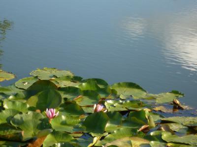 水百合, 莲花, 夏季