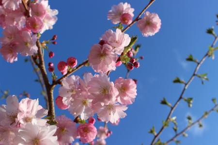 樱花, 樱花, 日本的樱花树, 粉色, 春天, 树, 樱桃