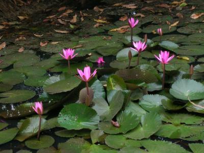 荷花池, 柬埔寨, 睡莲, 宁静, 和平, 水百合, 自然