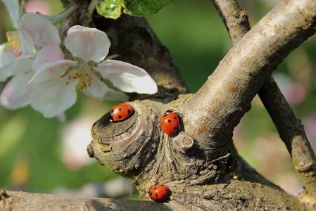 瓢虫, 苹果树上的花, 分公司, 昆虫, 自然, 红色, 甲虫