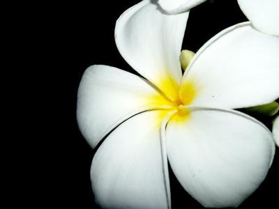 鸡蛋花, 特写, 树, 装饰, 花香, 花瓣, 黄色