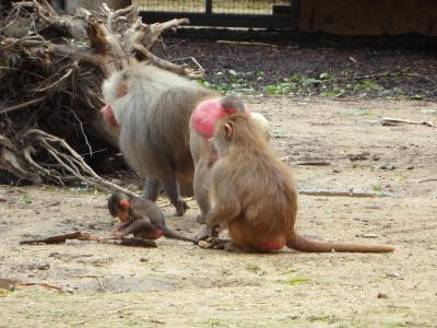 猿, 狒狒, 家庭, 猴家庭, 猴子, 动物园, 母亲