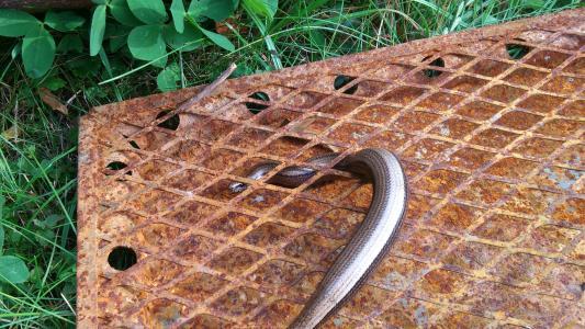 慢速蠕虫, 蜥蜴, 网格, 不锈钢, 动物, 爬行动物, 动物世界