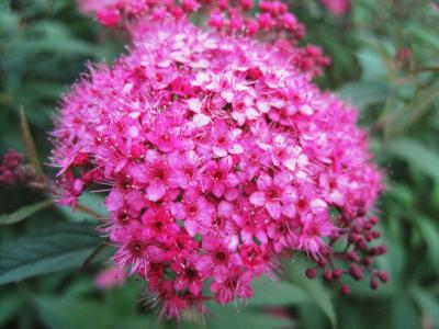 曾, 小花, 粉色, 光明, 小, 微妙