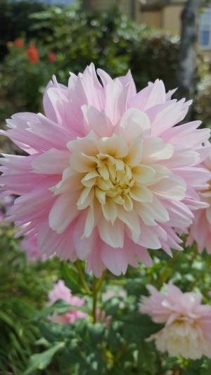大丽花, 粉色, 花, 苍白, 颜色, 花园