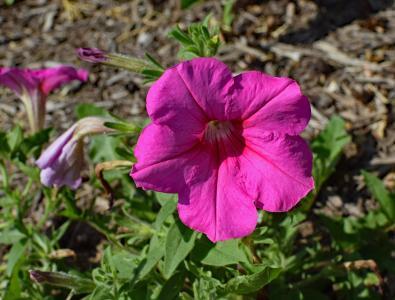 粉红矮牵牛, 花, 开花, 绽放, 自然, 植物, 花园