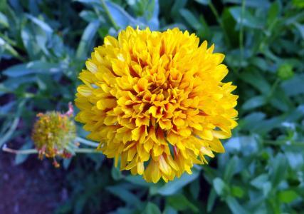 菊花, 花, 黄色, sevanthi, 花园, 印度, 自然
