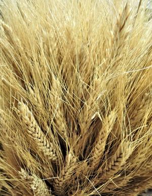 加拿大小麦, 金, 粮食, 作物, 农业, 出口, 农业