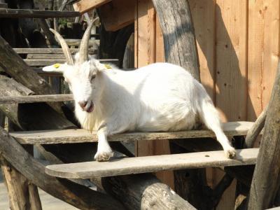 山羊, 动物园, 动物, 白色, 动物, 动物世界, 有角