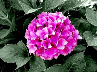 绣球花, 绣球花, 属, 绣球花厂, hydrangeaceae, 观赏灌木, 粉色
