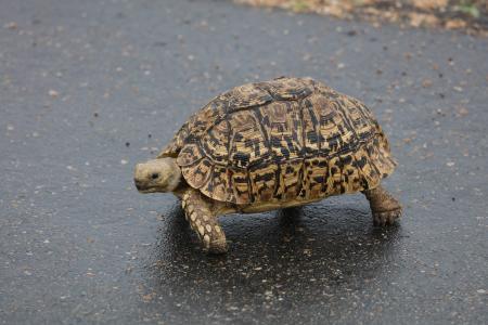 豹龟, 海龟, 南非, 爬行动物, 龟, 动物, 野生动物