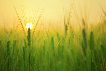 麦田, 日出, 早上, 太阳能, 云计算, 景观, 海