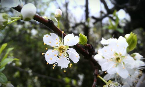 桃花, 桃花开, 花